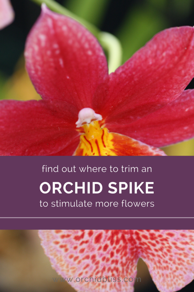 Mystery-solved-now-I-know-where-to-cut-my-orchid-spike.png