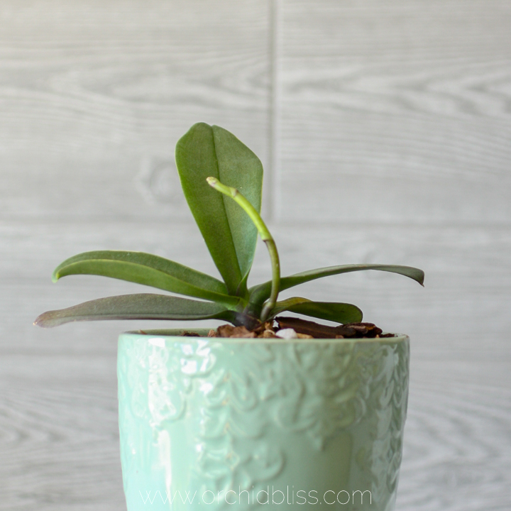 New orchid flower spike