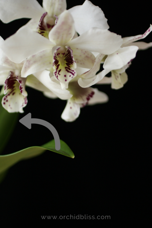 dendrobium-orchid-trim-below-the-flower-cluster.png