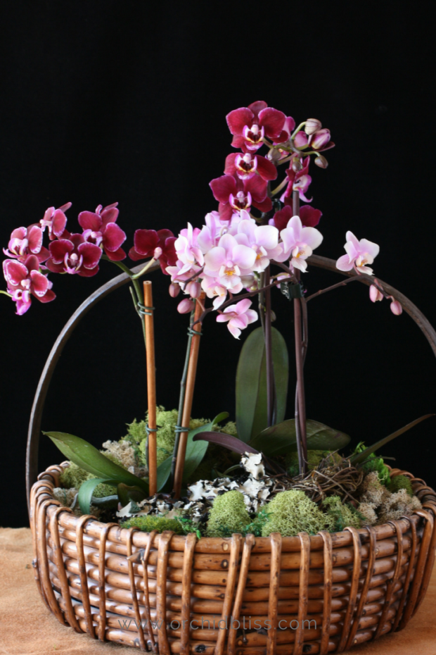 Mini Orchids In A Basket Caring For