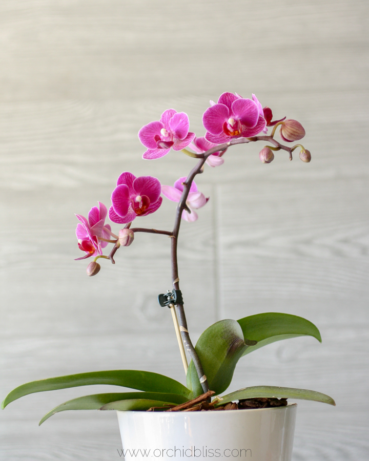 orchid has rebloomed - cutting the orchid flower spike