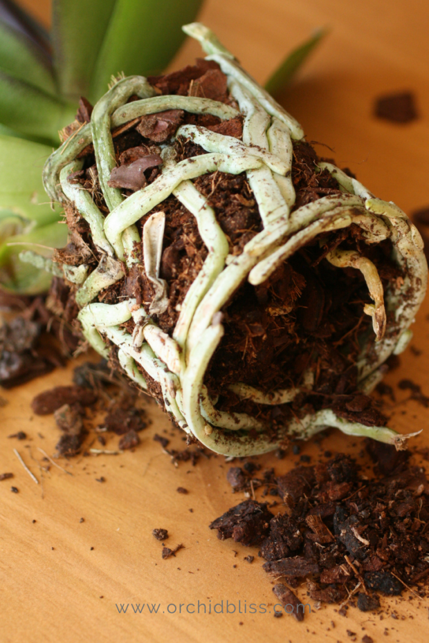 orchid-potted-in-wood-chips-why-when-repot.png