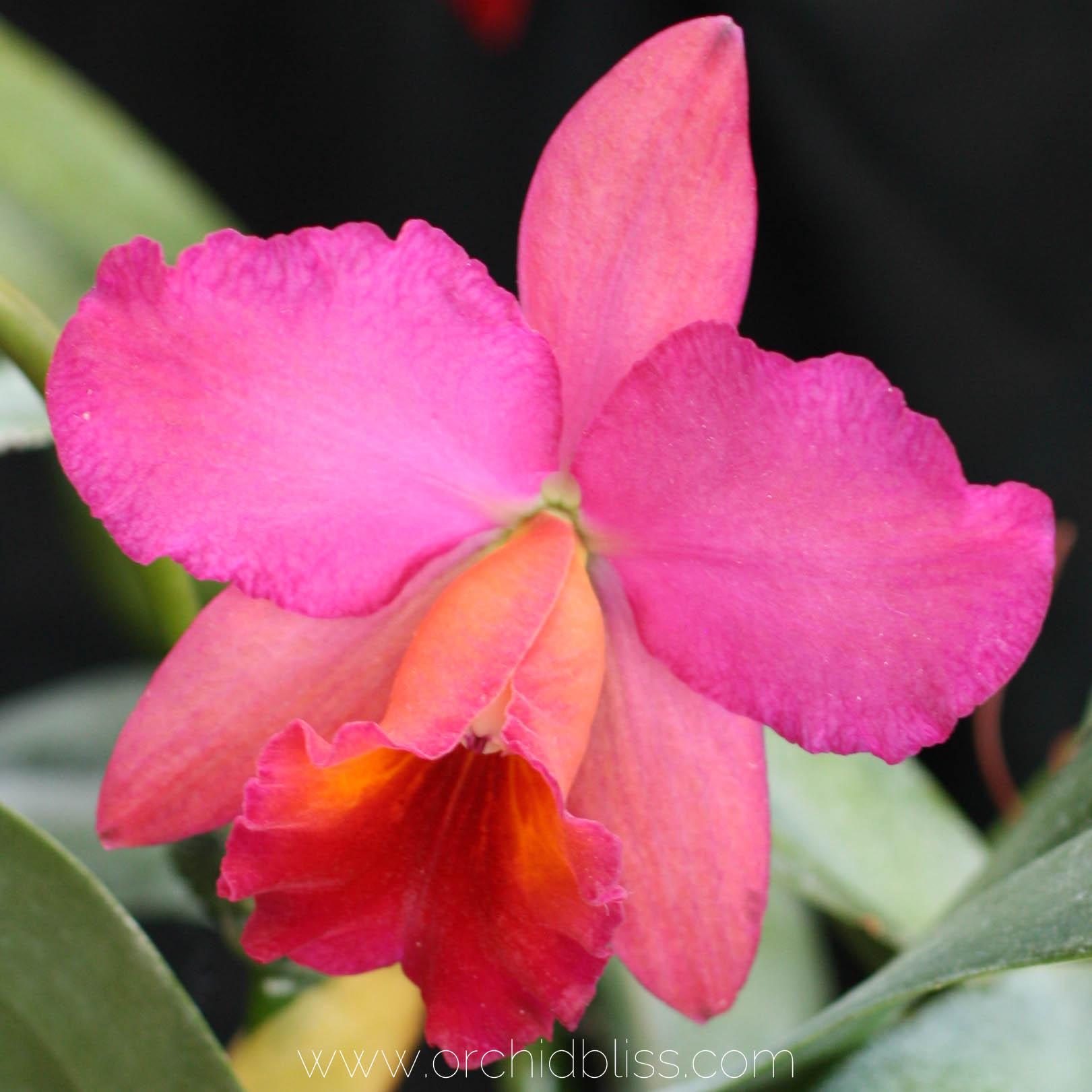 cattleya orchid in bloom