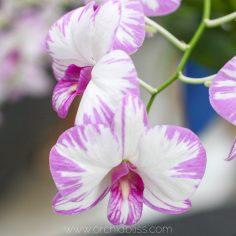 dendrobium white purple