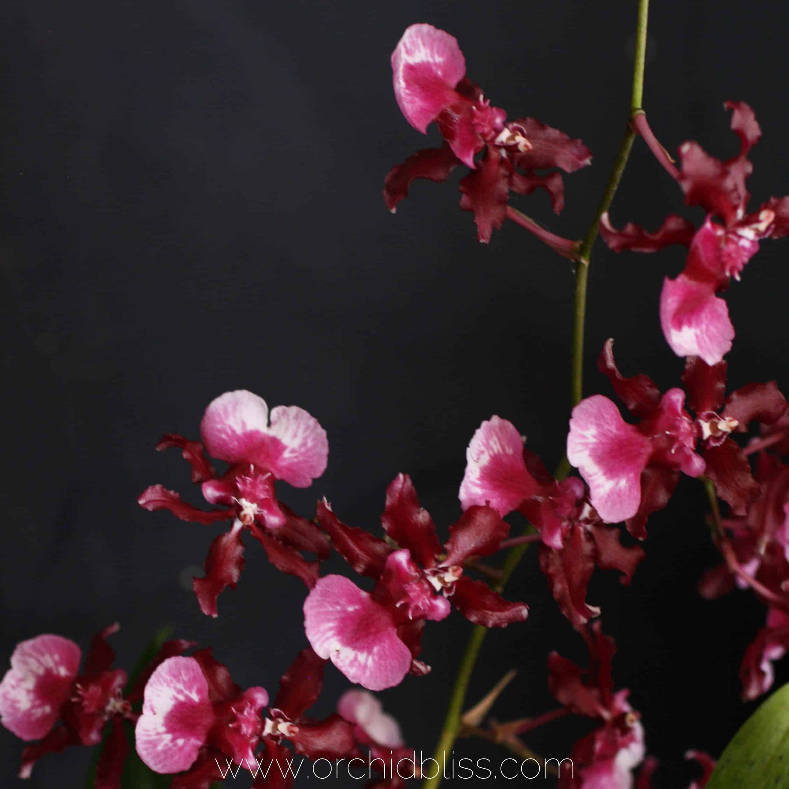 Sharry Baby - Oncidium - fragrant orchid