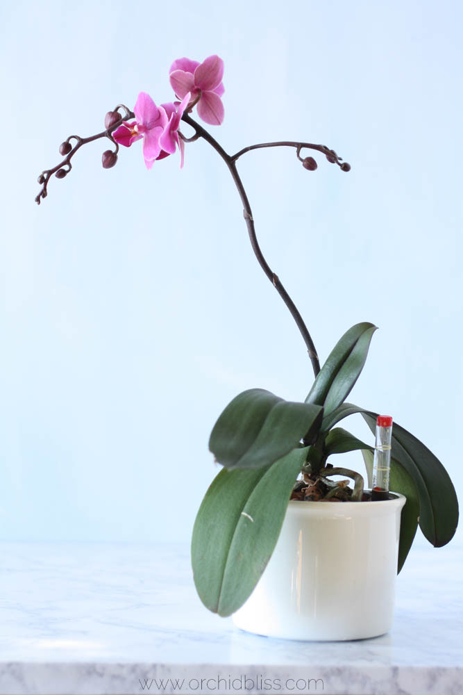 Buds galore - orchid growing semi-hydroponically