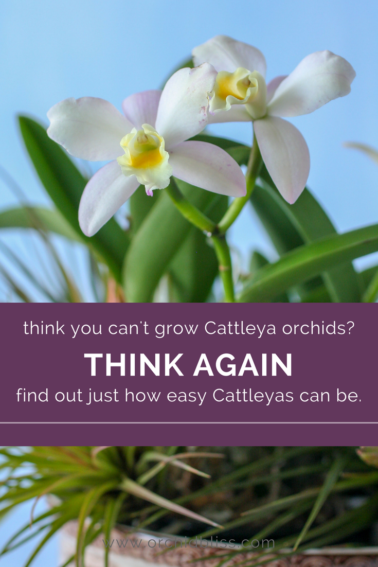Follow these steps and discover how easy it is to grow Cattleya orchids