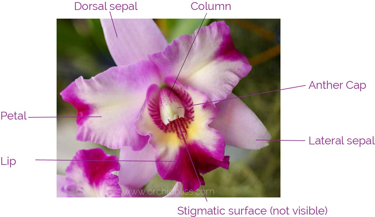 basic orchid flower anatomy