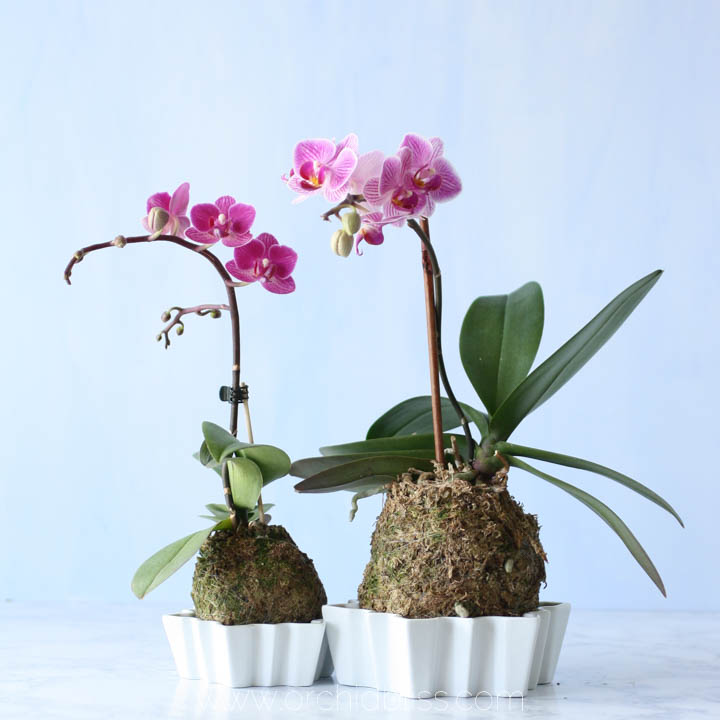 simple centerpiece - mini orchid