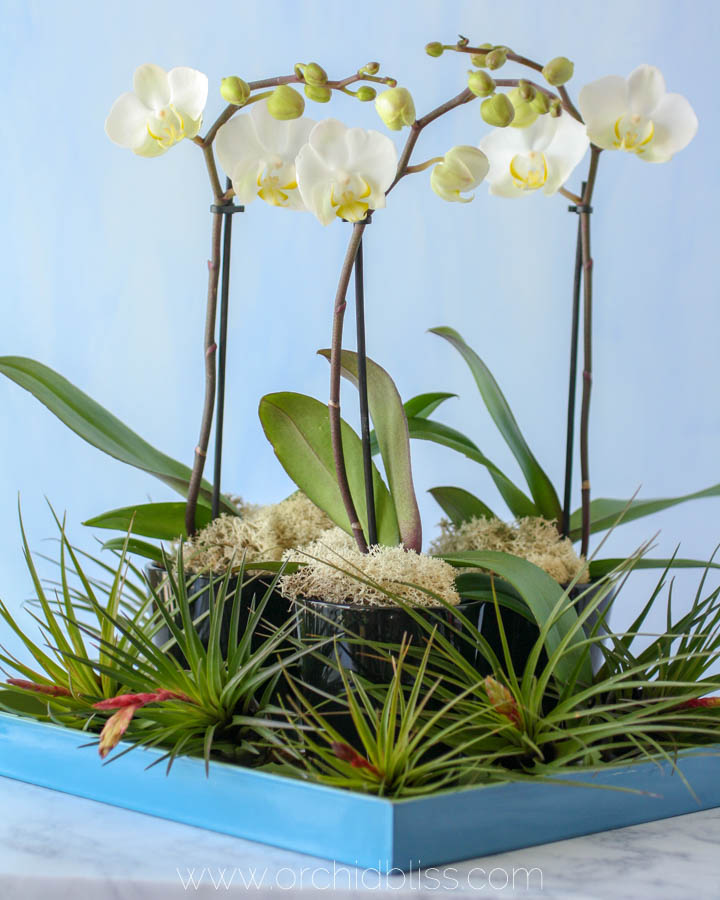 orchid kokedama in trifle dish - orchid centerpieces